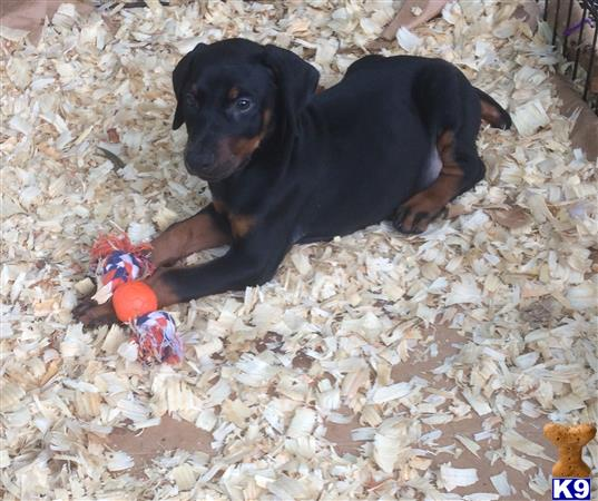 Sunshinestatedobermans Picture 3